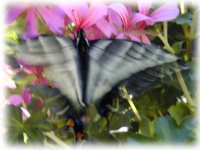 ButterflyBlurry
