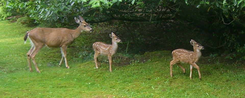 F_image_deer