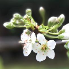 BlurryBlossom